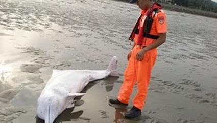 拦河堰」对白海豚影响很小
