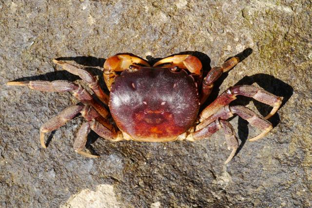 北方三島蟹類初探