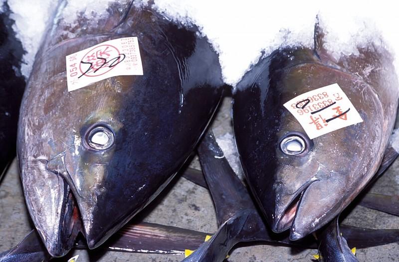 【黑潮觀點B】祭黑鮪魚季─悼念黑鮪魚之死 @文/陳雅芬、賴威任