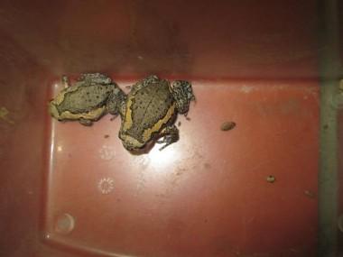 外來種亞洲錦蛙