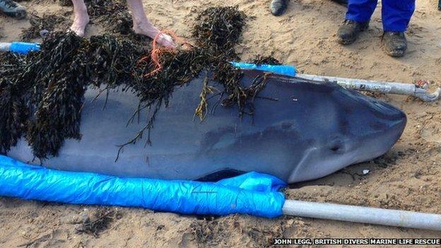 [鯨豚全球見聞] 在英國海域擱淺的Kogia!
