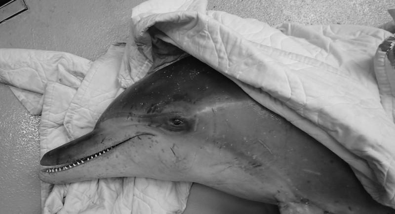 鯨豚擱淺事件簿:桃園瓶鼻海豚與三貂角糙齒海豚
