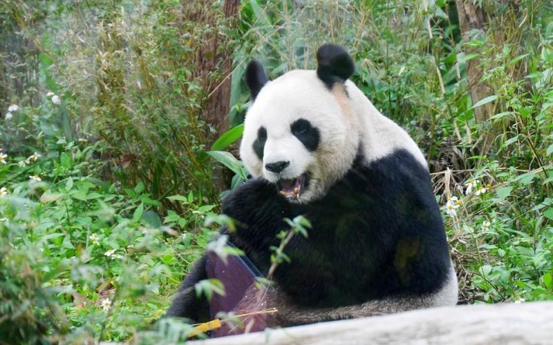 【台灣動物之聲】366期:得不償失----反對貓熊來台