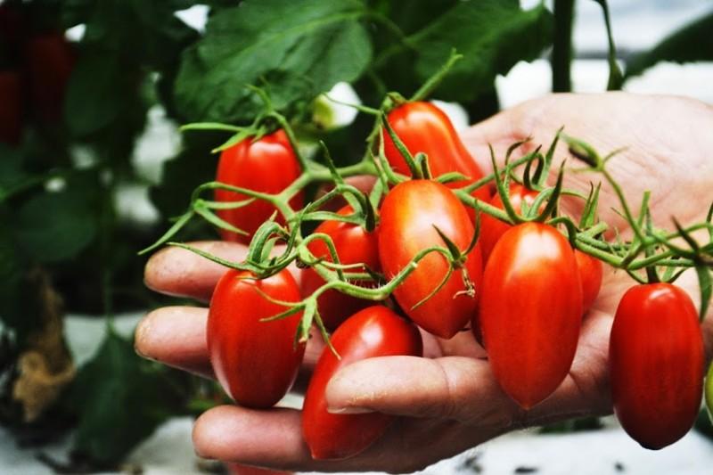 【產地消息】林裕財。玉女小番茄美味上市!