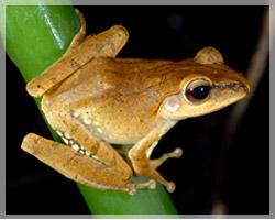 不速之蛙斑腿樹蛙